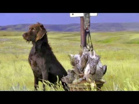 Cedarwood Pudelpointers Duck Hunt