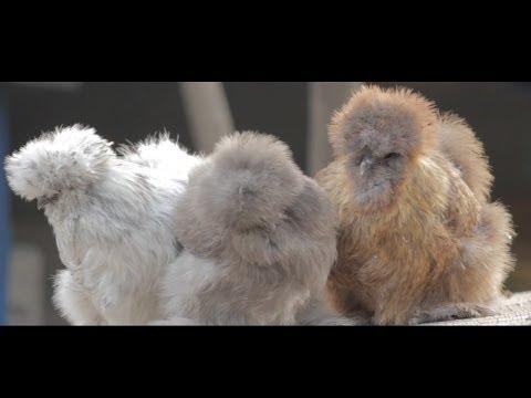 Chicken Documentary: Helia Buyck | My Bond with Chickens