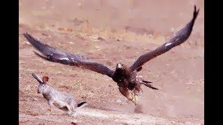 Хищные птицы разрывают на части живую добычу