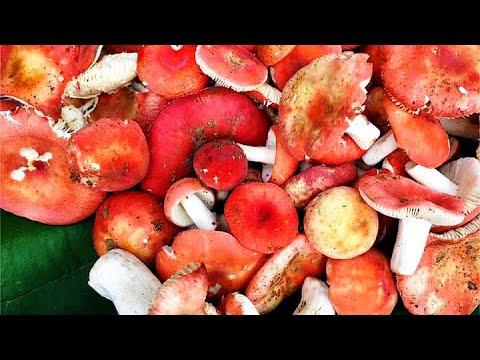 เก็บเห็ดป่า จังหวัดพะเยา : ใช้ชีวิตในป่ากับสราวุฒิ ปี 3 ตอน 9 Find wild mushrooms, Phayao, Thailand