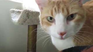 Cat Demands Love In The Morning - Lots Of Meows