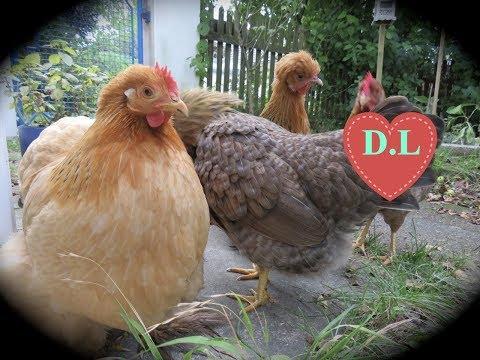 Die Hühnervoliere
