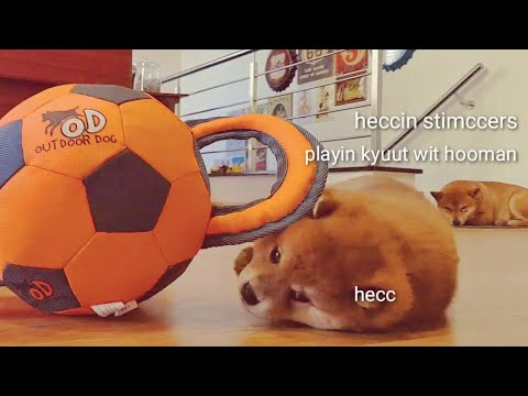 Dey disguise der insolence wit hooman ~ Shiro 2019 / Shiba Inu puppies (with captions)