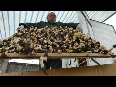 2017 saison des morilles,Morchella (morel mushroom) growers harvest