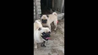 Two Cute Pug Dogs Breeding  Pug Cute Dog Videos