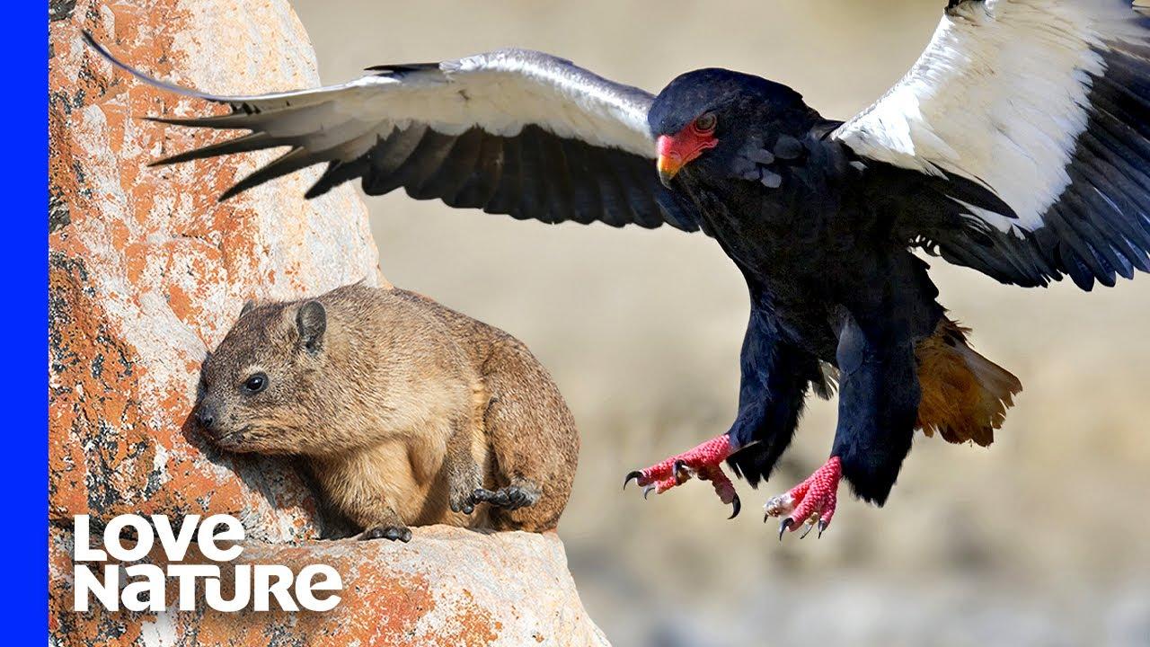 Clever Verreaux's Eagles Pluck Rock Rabbits in Flight