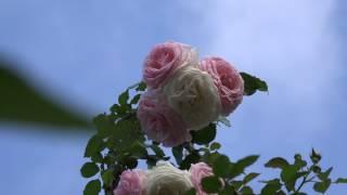家の薔薇たち 南つる 2017.5.27 朝 4k thumbnail