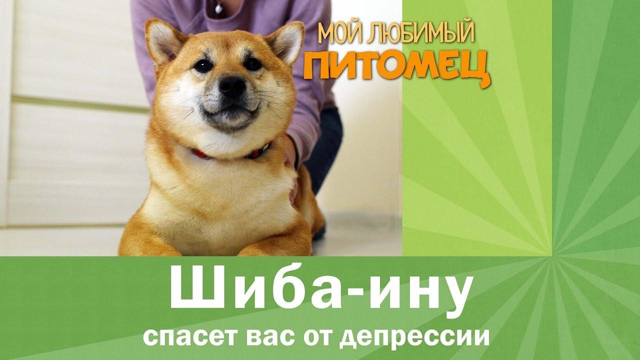 ШИБА ИНУ (СИБА ИНУ): особенности содержания, характер, воспитание, выбор щенка, отзывы