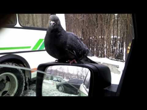 видео: Смешные голуби любят Макдональдс