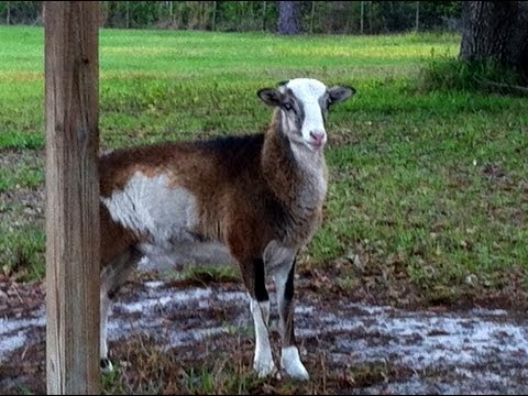 Breeds Of Sheep (St Croix)