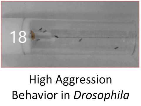 High Aggression Behavior in Drosophila