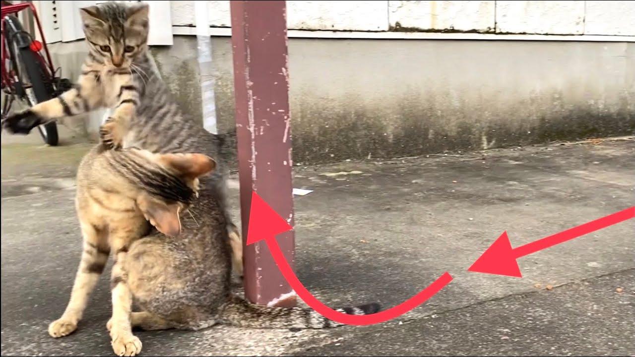 母猫のそばで軽やかに遊ぶ子猫【キジトラ猫・野良猫】