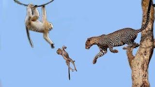 فشل ليوبارد صيد القرد الأسرة القرد الأم لحماية ابنها