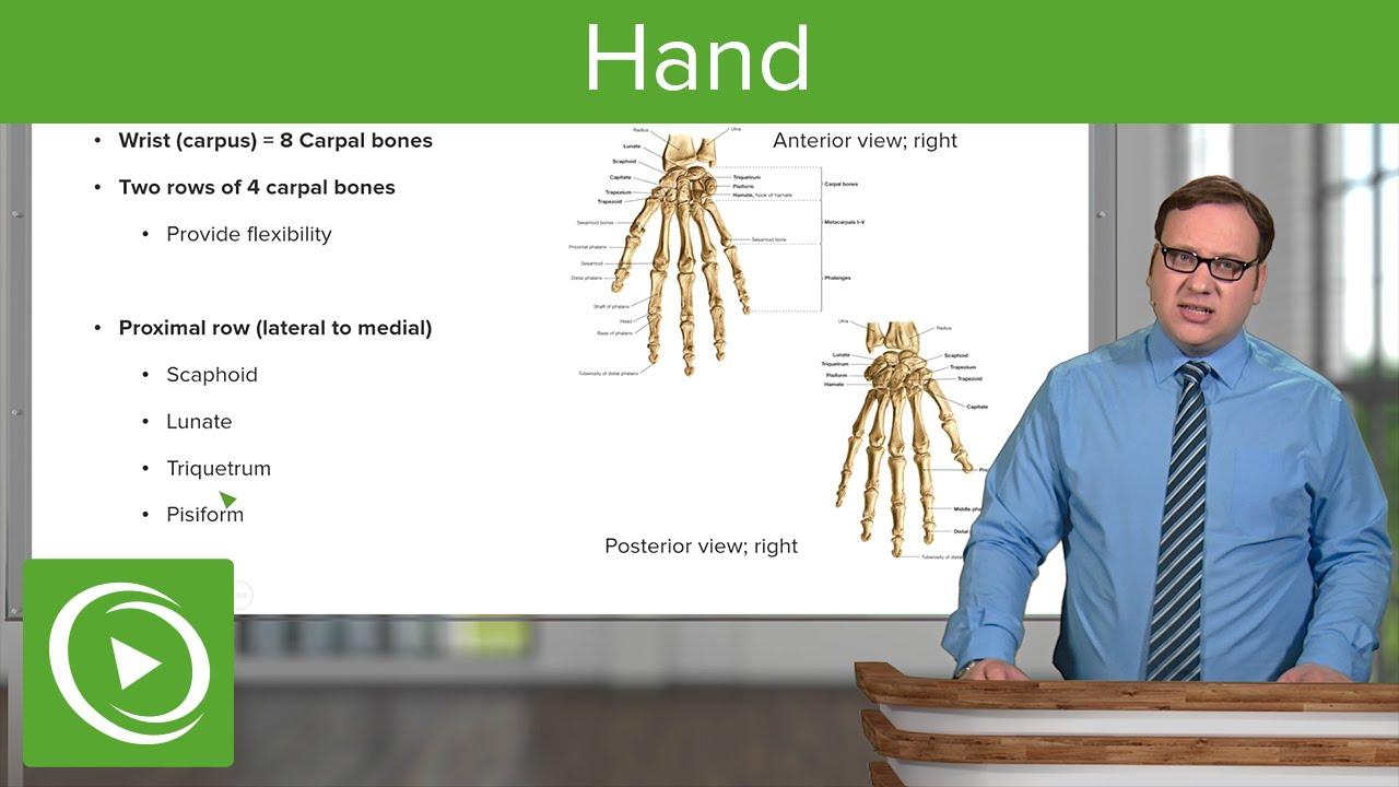 Hand: Carpal Bones & Phalanges – Anatomy | Lecturio