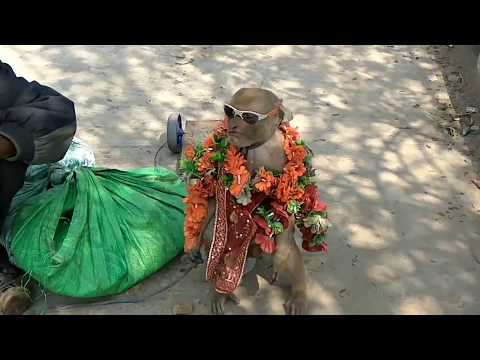 Hero Hindustani Bandar - Monkey Drama Full Comedy Video |- Comedy Show