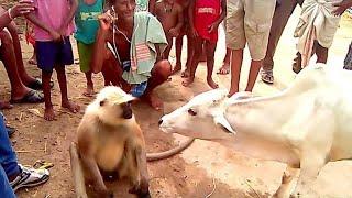 Hero Hindustani Bandar - Monkey Drama Full Comedy Video |- Comedy Show