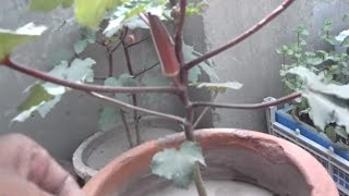 How to Grow Red Okra | How Do You Plant Okra | Okra Vegetable | Part-2 (Urdu/hindi)