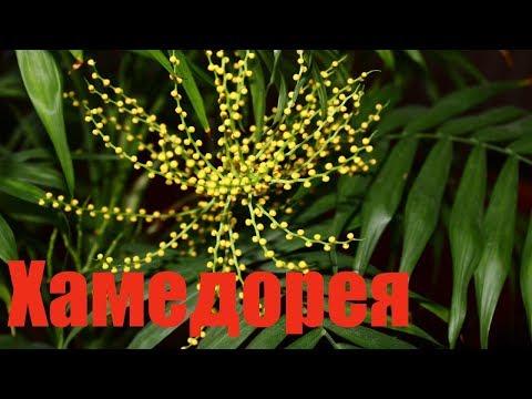 Домашние пальмы уход, выращивание, покупка и основные
