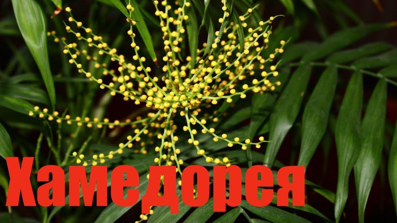 Комнатный цветок хамедорея