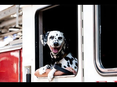 Dalmatian Price and Facts In Nepal and India