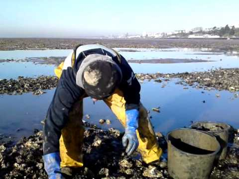 Hand Picking Essex Oysters.