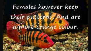 Fish Profiles - Red Terror Cichlid