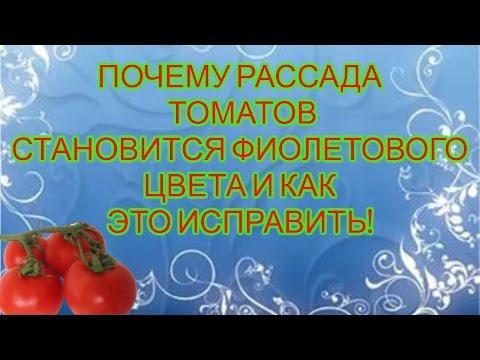 ЛИСТЬЯ ТОМАТОВ СТАЛИ ФИОЛЕТОВЫМИ. КАК ЭТО ИСПРАВИТЬ. | выращивание | фиолетовая | недостаток | подкормка | помидоры | фосфора | томатов | рассада | посидор | томаты
