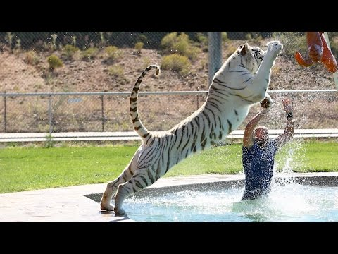 Thumbnail: Tiger Splash: Keepers Swim And Play With Fully Grown Big Cats