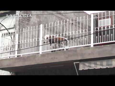 Una Vaca Vive En La Terraza De Una Casa Youtube