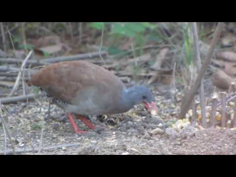 Armadilha para pegar pássaros; Laço x Lambu