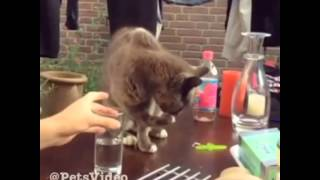 Кот пьёт воду из стакана !