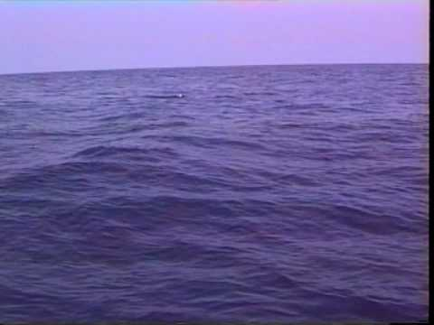Pilot Whale Attack - original version