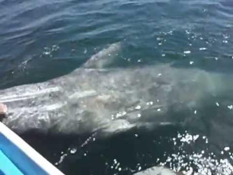 Grey Whales/ Ballenas Gris, Puerto Lopez Mateos, Baja California Sur 2013