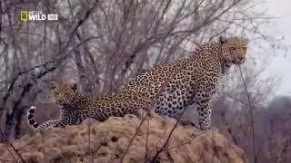 Африка. Леопарды. Дикая природа