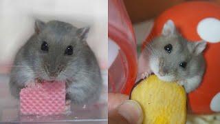 СМЕШНЫЕ ЖИВОТНЫЕ 2020 - (СМЕШНАЯ ОЗВУЧКА) Hamsters like #321 funny