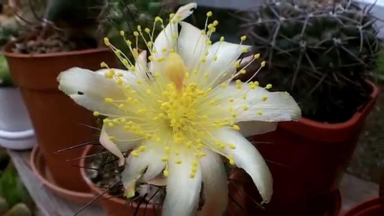 Copiapoa montana cactus in beautiful yellow star flower youtube mightylinksfo