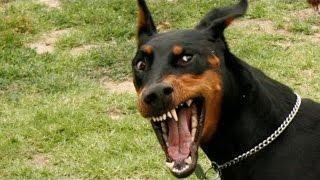 Top 10 perros mas agresivos y peligrosos del mundo