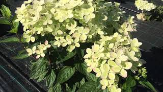 видео Гортензия метельчатая Бомбшелл