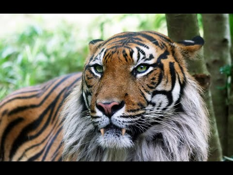 Ligers - The Super Cats (4k)