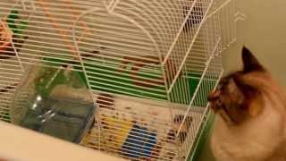 Реакция кота на попугайчиков.Кот лучший страж выхода на свободу птичек,и никакие дверцы не нужны :)