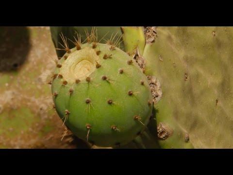 Documentaire sur le cactus - l'agriculture au Maroc(zone: Souss Massa Daraa) (fr)