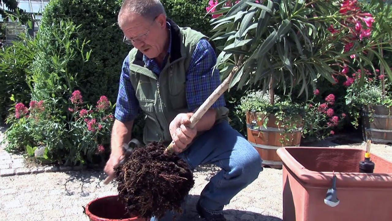 Kübelpflanzen umtopfen - Zeitpunkt, Drainage, Düngung
