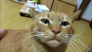 人間にあまり撫でられたことにない野良猫が人間に撫でられて何が起こっているのかわからない表情の野良猫 thumbnail