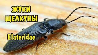 ЖУК-ЩЕЛКУН. Elateridae