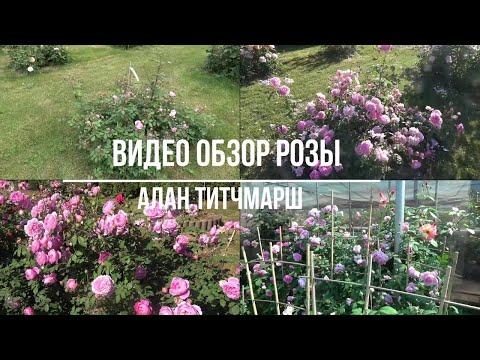 Видео обзор розы Алан Титчмарш (Английская) - Alan Titchmarsh (Austin, 2005)