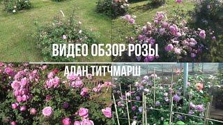Видео обзор розы Алан Титчмарш - Alan Titchmarsh (Austin, 2005)