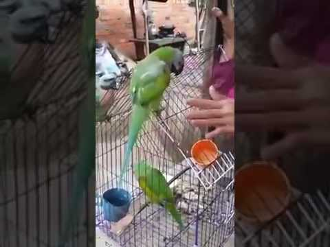 parrot can speak khmer language (in cambodia)សេកអាត់ចេះនិយាយ