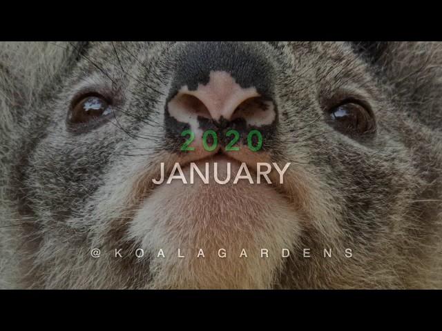 The koalas seen during January 2020