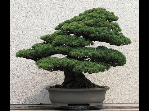 Бонсай/Выращивание японской сосны / первые ростки