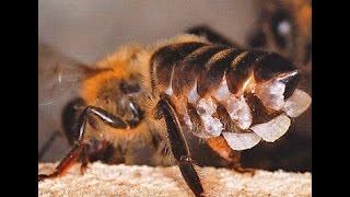 Биология пчелинной семьи:  ВОСК